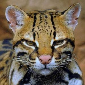 Какая по характеру кошка оцелот