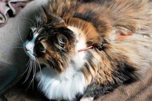 Чем лечить панкреатит у кошек