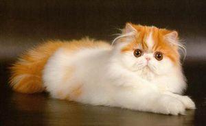 История персидских кошек