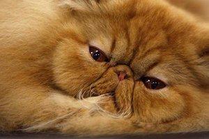 Особенности характеров персидских кошек