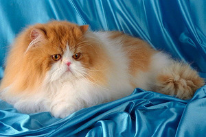Содержание персидских кошек и уход за ними