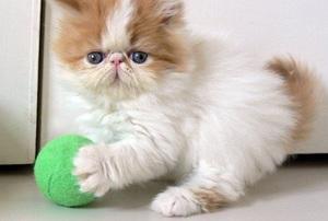 Питание персов персидских кошек