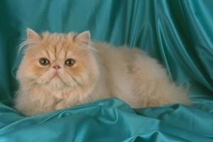 Разведение персидских кошек в домашних условиях
