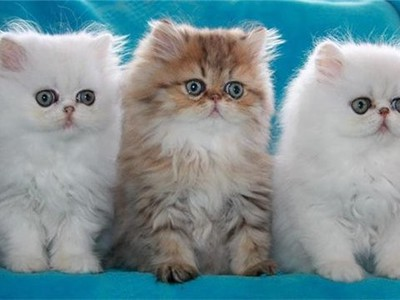 Персидские кошки и коты