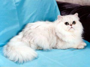 Персидская шиншилла: история кошек и все тонкости содержания