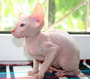 Сфинкс Ред - поинт котик