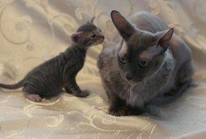 Петербургский сфинкс и маленький котенок