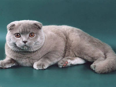 Scottish fold cat Scottish fold