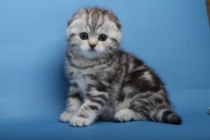 Подготовка жилища к появлению шотландского котенка