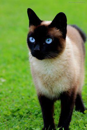 Отличия сиамской кошки