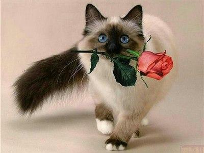Сиамская кошка: особенности породы и характера