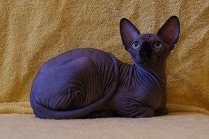 Особенности породы кошек