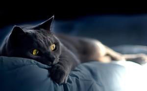 Характеристика породы русской голубой кошки