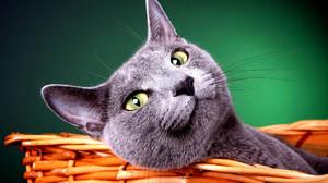 Содержание голубой кошки