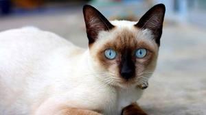 Молодой кот-сиамец