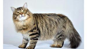 Пушистый сибирский котик