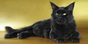 Черная кошка мейн-кун - маленькая пантера