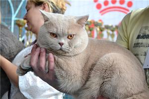 Британский кот в расцвете сил