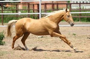 Порода лошадей