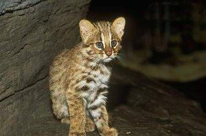Подросший амурский лесной котенок