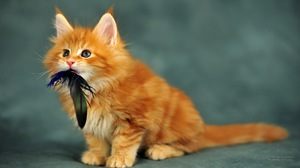 Небольшой котёнок породы мейн-кун