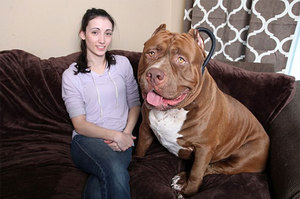 The biggest dog in the world, the guardian angel for a person