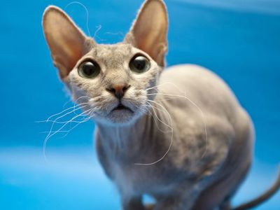 Кот сфинкс: особенности породы