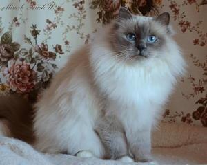 Священная бирма - порода котят