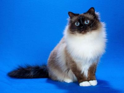 Бирманская кошка Священная Бирма