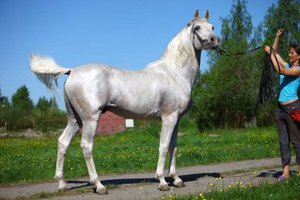Арабская лошадь серого окраса