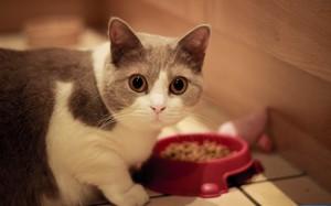 Кошка манчкин кушает