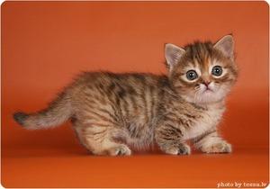 Маленький манчкин котенок