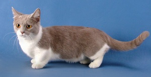 Бело-серый котик-такса