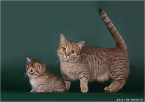 Манчкин – кошка и котенок