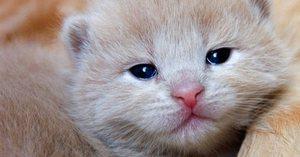 Повышенное слезоотделение у котят и взрослых кошек