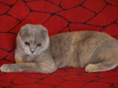 Основные окрасы шотландских вислоухих кошек