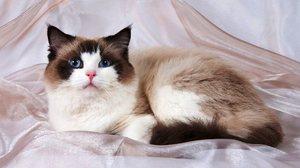 Кошка Рэгдолл - что это за порода