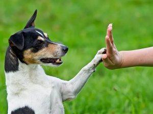 Собаки самым с высоким уровнем интеллекта