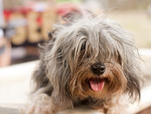 Дорогие породы собак