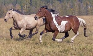Максимальная скорость лошади