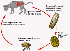 Как глисты попадают в кишечник кошки
