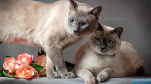 Две тайские кошки колор пойнт