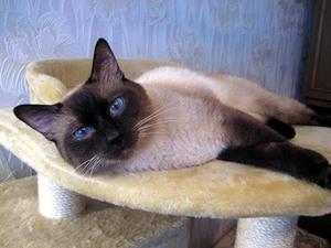 Тайская кошка в квартире