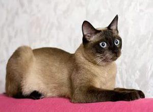 Тайская порода кошки