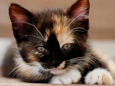 The uniqueness of tri-color cats. Signs about them