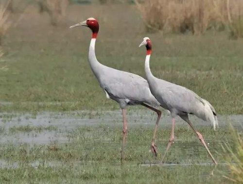 Cranes-India