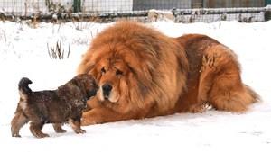 Тибетский мастиф и маленький щенок