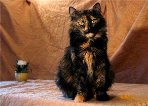 Черепаховая кошка-описание окраса