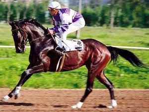 Чистокровная верховая лошадь участвует в скачках