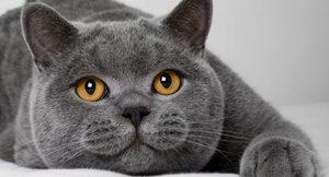 Кот-британец ждет хозяина фото